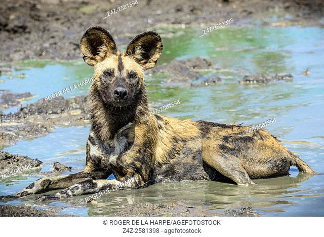African wild dog, African hunting dog, African painted dog, cape hunting dog, wild dog or painted wolf (Lycaon pictus). Limpopo Province. South Africa