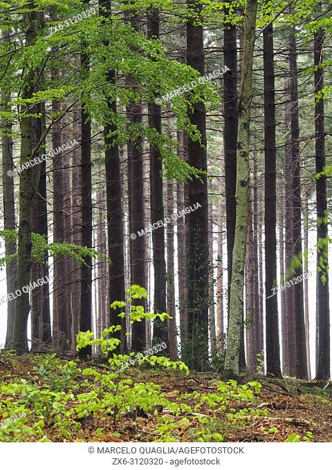 European silver fir forest (Abies alba) with some beech trees at Pla del Rovirol site. Montseny Natural Park. Barcelona province, Catalonia, Spain