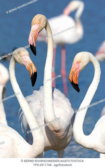Greater flamingo (Phoenicopterus roseus), portrait of three adults, Camargue, Bouches-du-Rhône, Provence, France