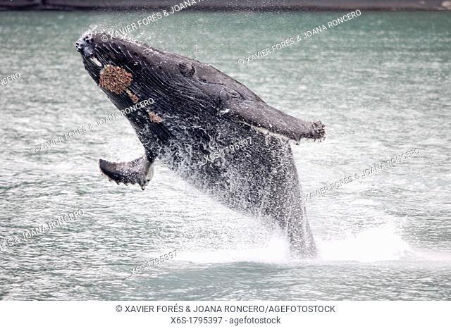Humpback whale - Megaptera novaeangliae -, Kenai Fjords National Park, Alaska, U S A