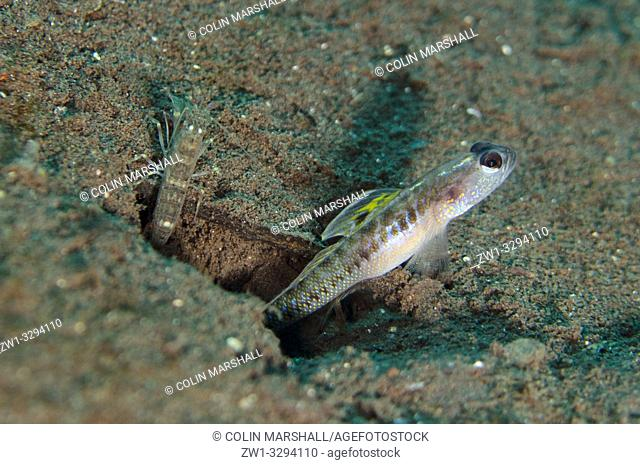 Dorsalspot Shrimpgoby (Vanderhorstia dorsomacula, Gobioidei family) with Snapping Shrimp (Alpheus sp. ) by hole in sand, Melasti dive site, Seraya
