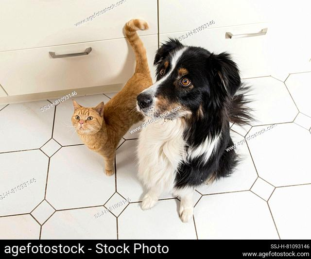 Australian Shepherd and British Shorhair cat. Two adults sitting in a kitchen, watching
