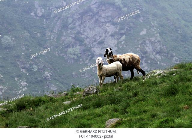 Two goats standing in grass