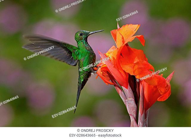 Nice hummingbird Green-crowned Brilliant , Heliodoxa jacula