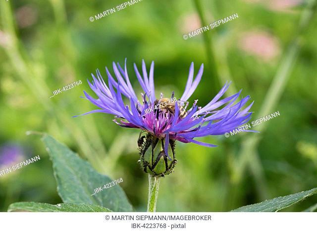 Honeybee (Apis mellifera) on perennial cornflower (Centaurea montana), Chiemgau Alps, Upper Bavaria, Bavaria, Germany