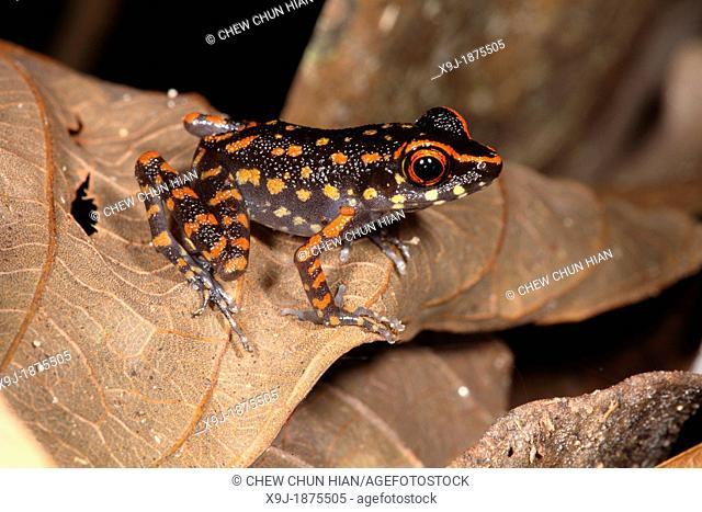 orange-Spotted Stream Frog, Rana picturata, gading national park, sarawak, malaysia, borneo