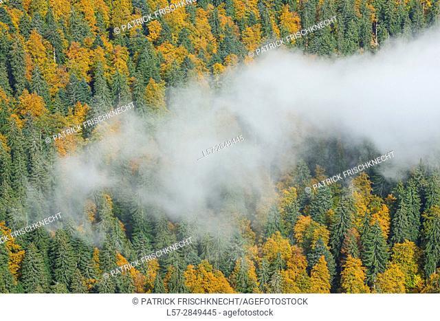 beech trees in forest,Switzerland,