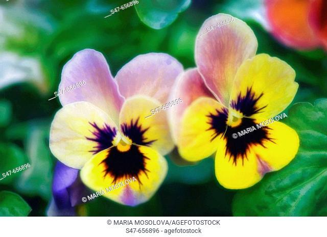 Pansy Flowers. Viola x wittrockiana. May 2007, Maryland, USA