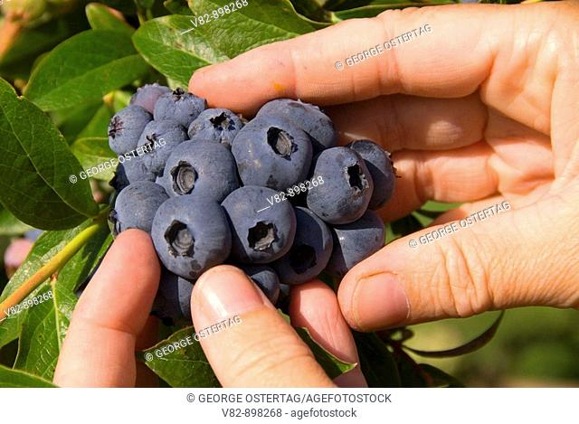 OR36732 Upick blueberries, Marion County, OR