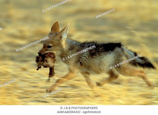 Jackal Pup Running with Rat (Canis mesomelas) Kalahari Gemsbok Park