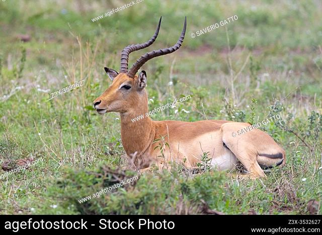 Impala (Aepyceros melampus), side view of a male ruminanting in a pasture, Mpumalanga, South Africa