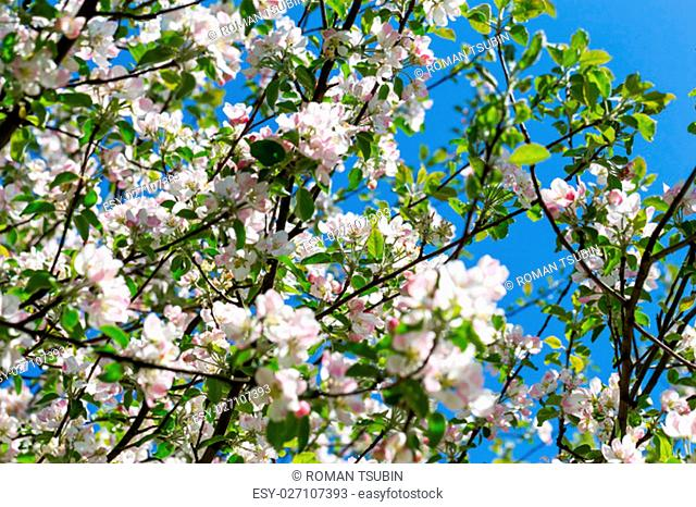 Blooming apple tree in spring time for background
