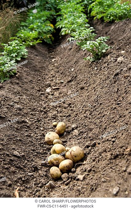 Potato, Solanum tuberosum, Several freshly dug up potatoes in a trench caused by plants being earthed up