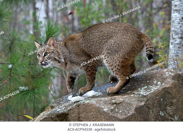 Bobcat (Lynx rufus), showing tail, Superior National Forest, MN, USA
