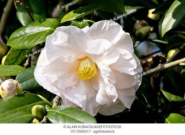 Camellia japonica 'Moonlight Bay' Obtenteur : Nuccio (USA) 1982