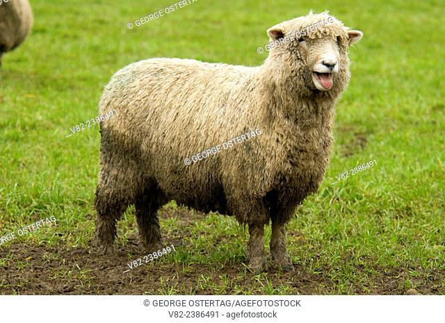 Sheep, Linn County, Oregon