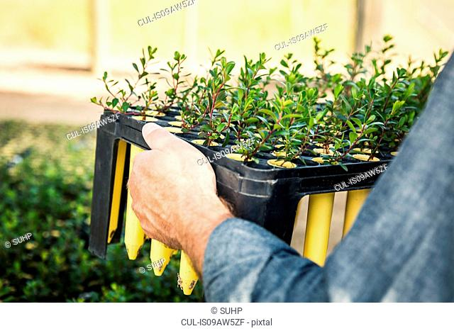 Cropped close up of scientist carrying plant tray in plant growth research centre