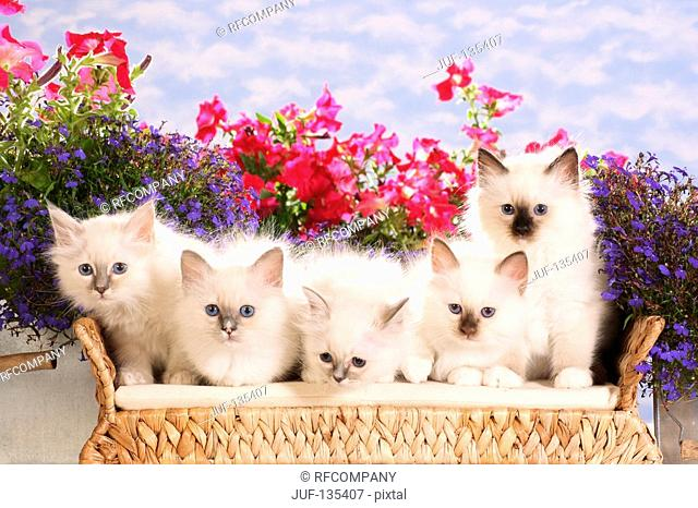 five Sacred cats of Burma - kittens - on sofa