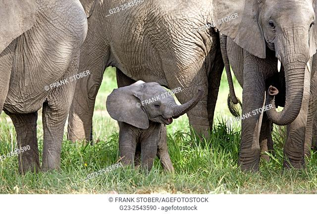 Elephant family with baby, Africa
