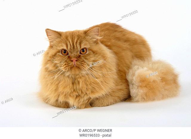British Longhair Cat