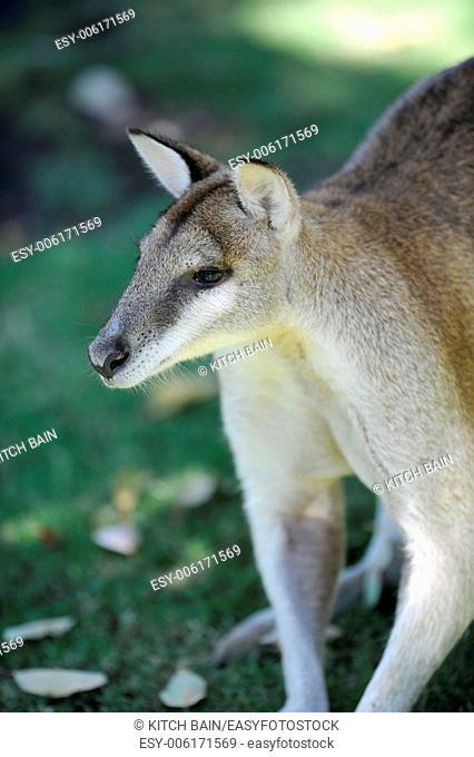 A close up shot of an Australian Wallaby