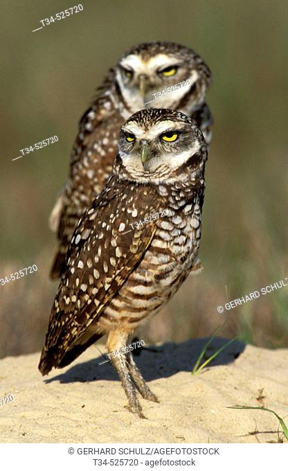 Burrowing Owl. Athene cunicularia. Everglades N.P. Florida, USA