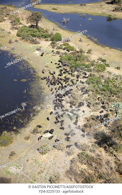 Aerial view of African buffalo or Cape buffalos group (Syncerus caffer). Okawango Delta, Botswana. The Okavango Delta is home to a rich array of wildlife
