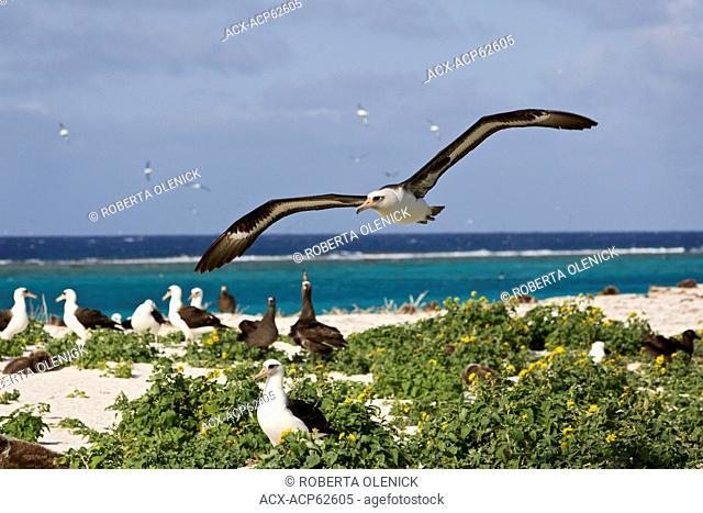 Laysan albatross (Phoebastria immutabilis), in flight over nesting colony, Sand Island, Midway Atoll National Wildlife Refuge, Northwest Hawaiian Islands