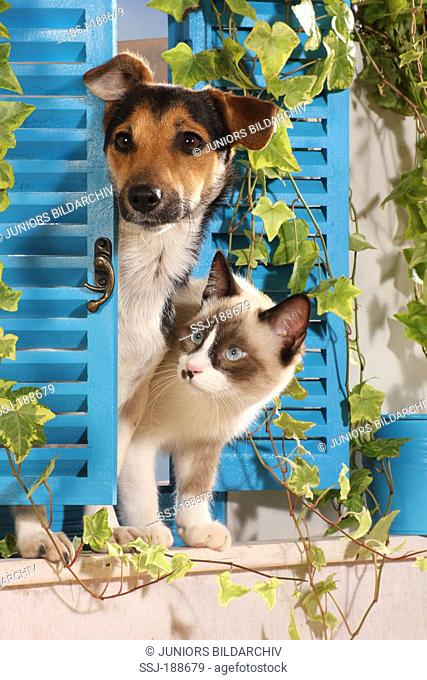 Jack Russell Terrier and Brown and white kitten standing in a window with blue shutters. Spain