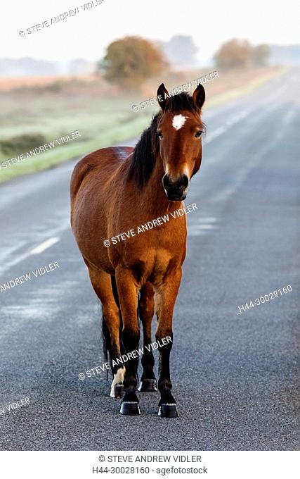 England, Hampshire, New Forest, Horse Walking on Road