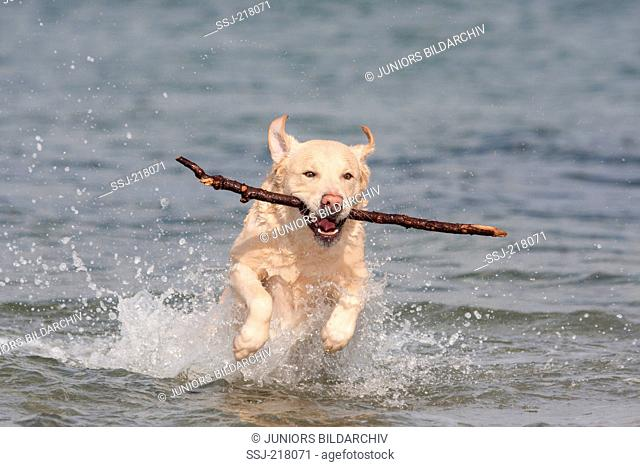Labrador Retriever. Adult fetching a stick out of the Baltic Sea. Germany