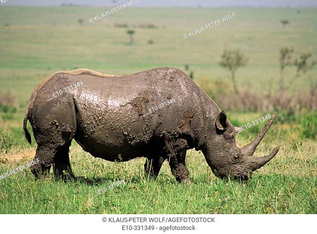 Black Rhinoceros (Diceros bicornis). Kenya