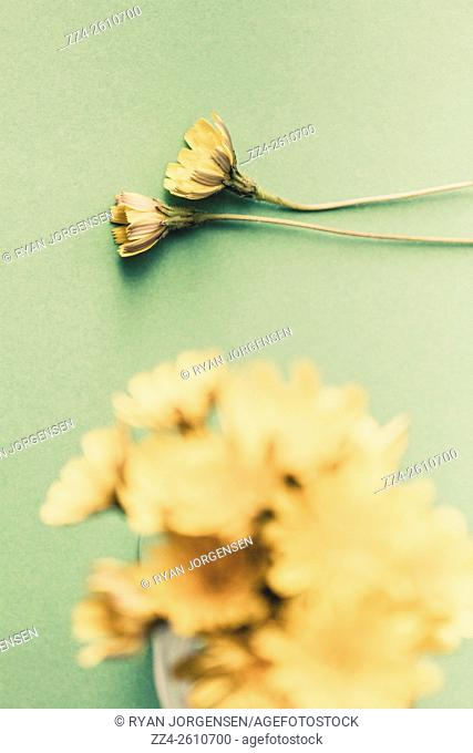 Nostalgic picture of two dandelion flowers withering side by side. Weathered and wilting