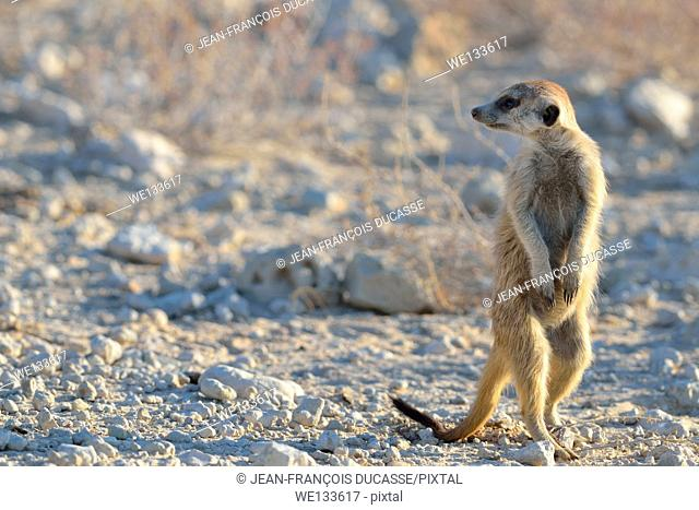 Meerkat (Suricata suricatta), attentive, at the edge of the gravel road, Kgalagadi Transfrontier Park, Northern Cape, South Africa, Africa