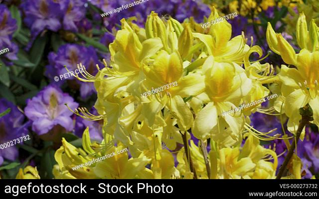 Yellow blooming Rhododendrons in garden video