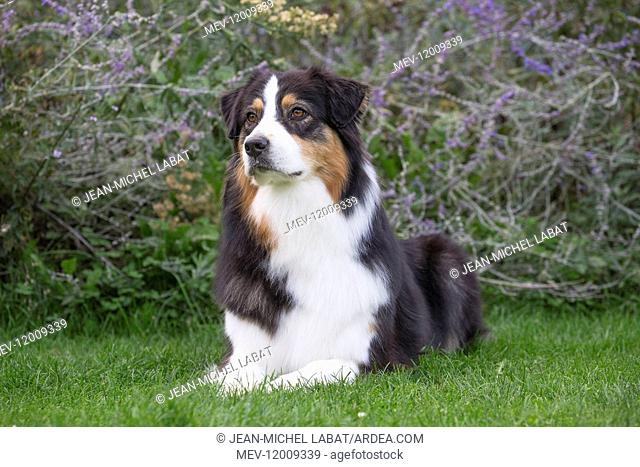 Australian Shepherd Dog outdoors