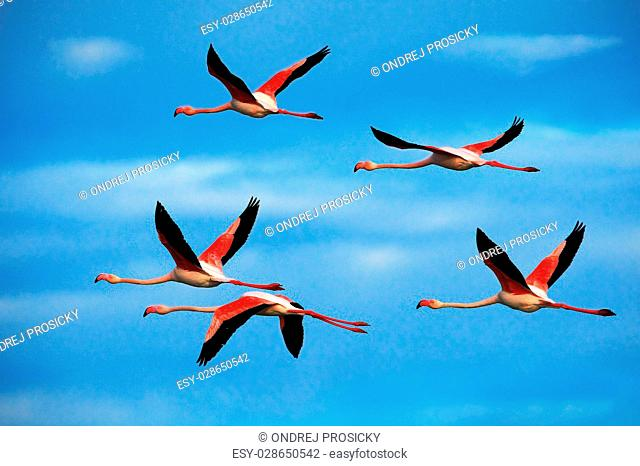 Flying pair of nice pink big bird Greater Flamingo