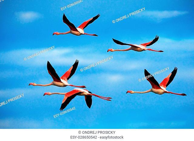 Flying pair of nice pink big bird Greater Flamingo