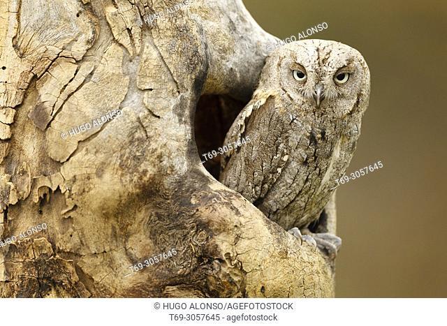 Eurasian scops owl. Otus scops. Madrid. Spain