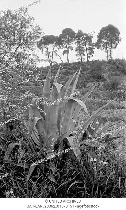 Griechenland, Greece - Agaven wachsen am Rande der archäologischen Stätten in Griechenland, 1950er Jahre. Agaves growing beside the archaeological sites in...