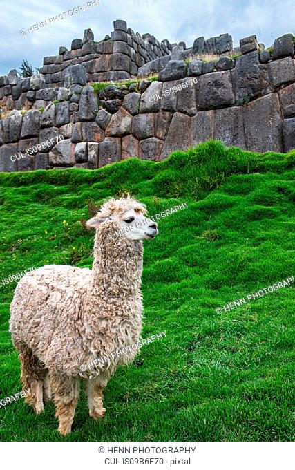 Alpaca at the old Inca site of Sacsayhuaman above Cusco, Cusco, Peru, South America
