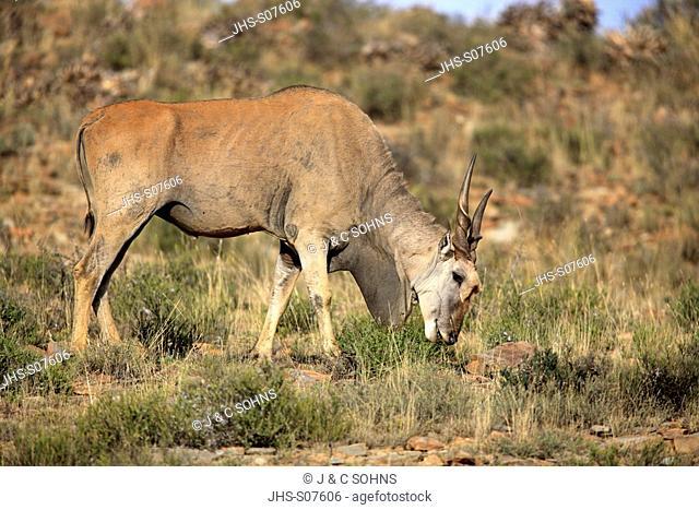 Eland, Taurotragus oryx, Mountain Zebra Nationalpark, South Africa, Africa, adult feeding