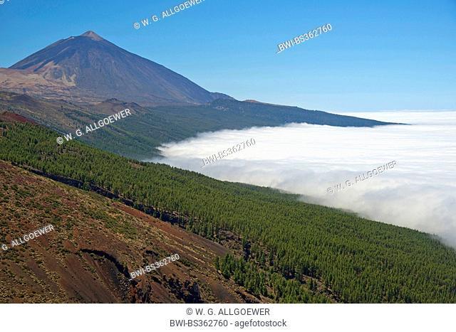 Canary pine (Pinus canariensis), Pico de Teide over cloud cover, Canary Islands, Tenerife, Teide National Park
