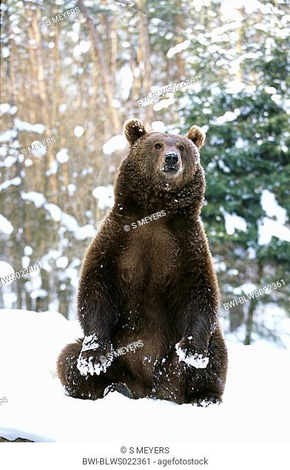 European brown bear Ursus arctos, sitting upright in snow, Germany, Baden-Wuerttemberg, game park Mergentheim, Mrz 05