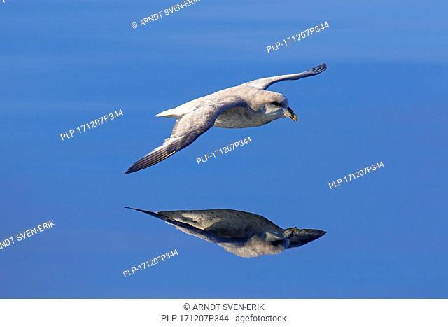 Northern fulmar / Arctic fulmar (Fulmarus glacialis) dark morph / blue morph in flight soaring over the sea, Svalbard / Spitsbergen, Norway