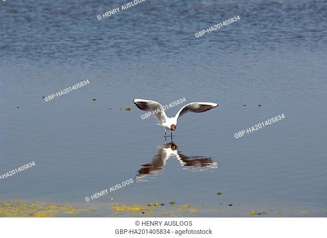 Black-headed Gull, Chroicocephalus ridibundus, flight