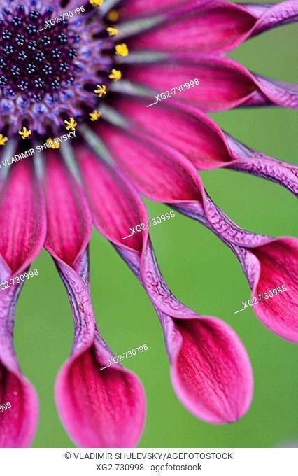 African Daisy or Osteospermum tropical flower.USA, Hawaii, Maui