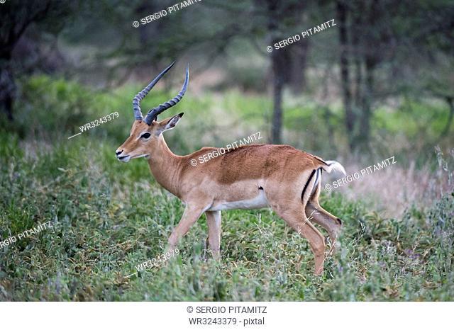 Male impala (Aepyceros melampus), Ndutu, Ngorongoro Conservation Area, Serengeti, Tanzania, East Africa, Africa
