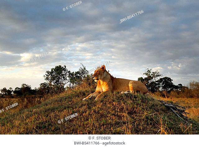 lion (Panthera leo), lioness in evening light, Kenya, Masai Mara National Park