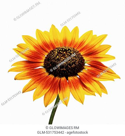 Close-up of a sunflower Helianthus annuus
